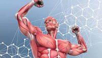عضله های بدن سایه ژنتیک بزرگی عضله مایواستاتین قوی قدرت اندازه عضله سایز عضله اپیکاتچین هورمون مکمل های ورزشی سبک زندگی ورزش طبیعی بدن