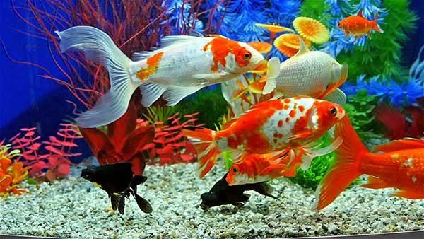 پرورش ماهی آکواریوم در کارخانه چگونه است